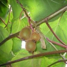 Kiwis irrigated with greywater